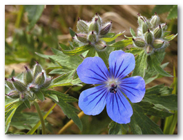 Flowers_-_Northern_Geranium.jpg