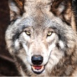 Watchdogs and Wolves