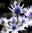 A Thistle Cannot Produce Figs